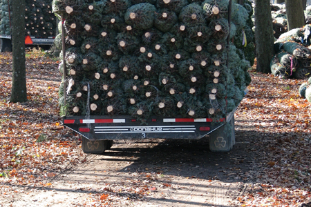 Michigan Christmas Tree Association - Bundled Trees - Michigan Christmas Tree Association